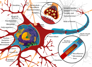 Complete_neuron_cell_diagram_en.svg